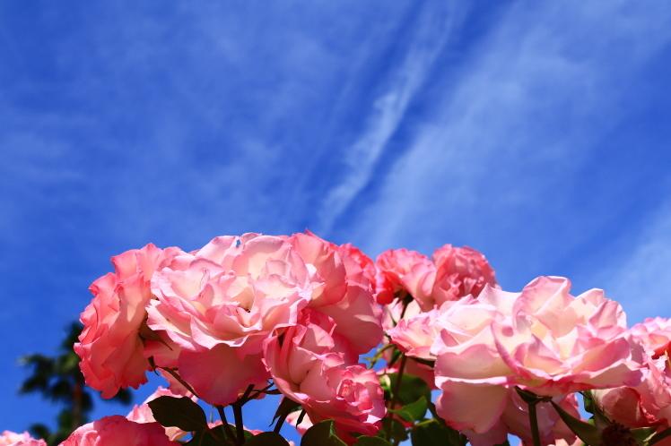 長居植物園のバラ_f0209122_09573106.jpg