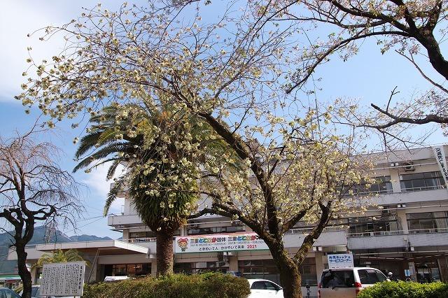 満開のウコン桜(撮影:4月15日)_e0321325_18351553.jpg