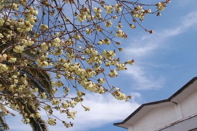 満開のウコン桜(撮影:4月15日)_e0321325_18363708.jpg