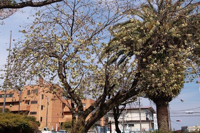 満開のウコン桜(撮影:4月15日)_e0321325_18364958.jpg