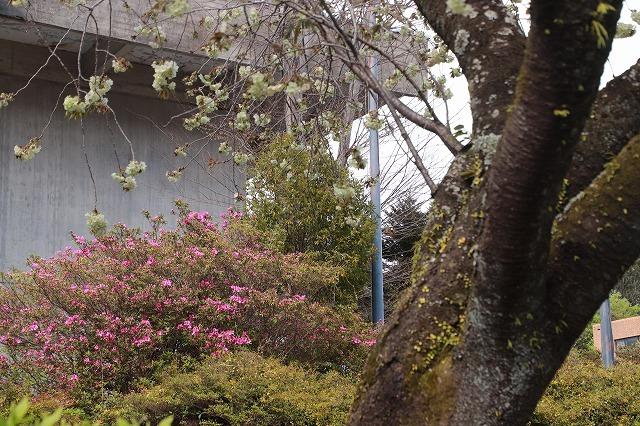 満開のウコン桜(撮影:4月15日)_e0321325_18370326.jpg