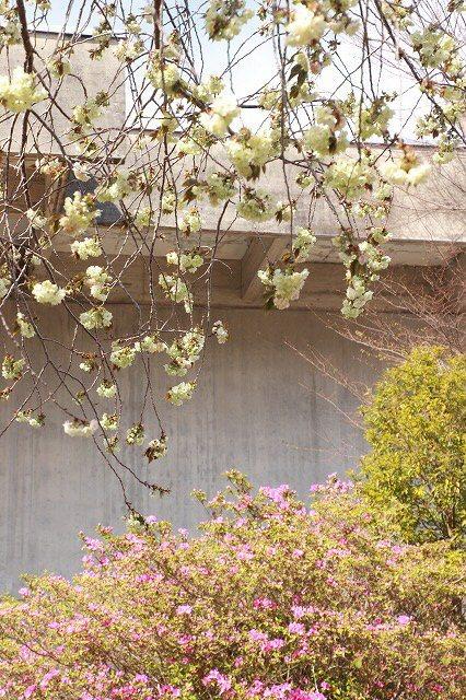 満開のウコン桜(撮影:4月15日)_e0321325_18371614.jpg