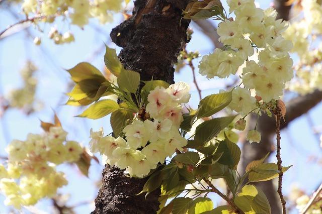 満開のウコン桜(撮影:4月15日)_e0321325_18372900.jpg