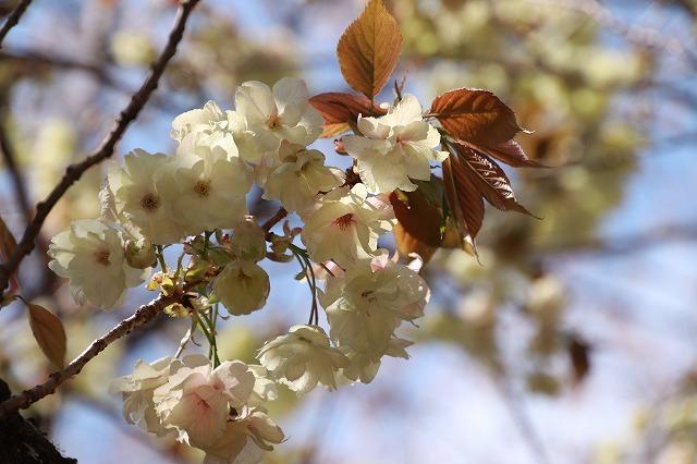 満開のウコン桜(撮影:4月15日)_e0321325_18374368.jpg