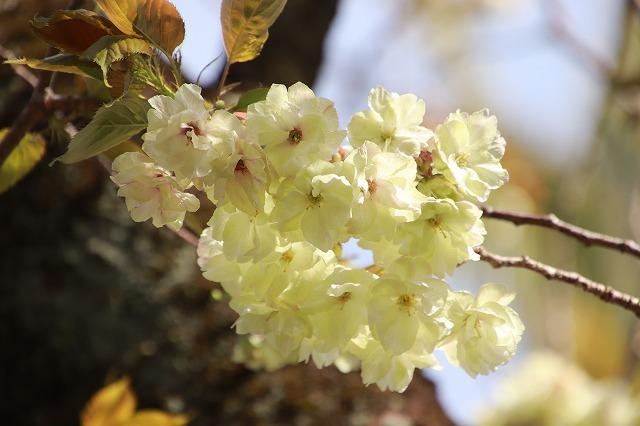 満開のウコン桜(撮影:4月15日)_e0321325_18375615.jpg