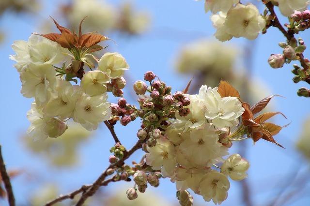 満開のウコン桜(撮影:4月15日)_e0321325_18380859.jpg