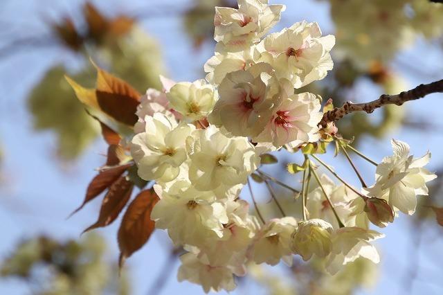 満開のウコン桜(撮影:4月15日)_e0321325_18382066.jpg