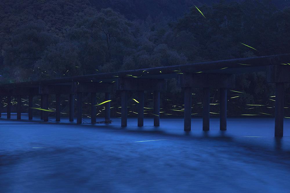 勝間沈下橋でのゲンジボタル_f0324026_20442775.jpg