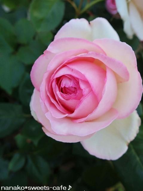 ピンクの薔薇_d0147030_20341633.jpg