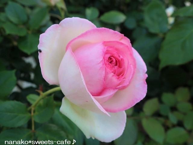 ピンクの薔薇_d0147030_20342900.jpg