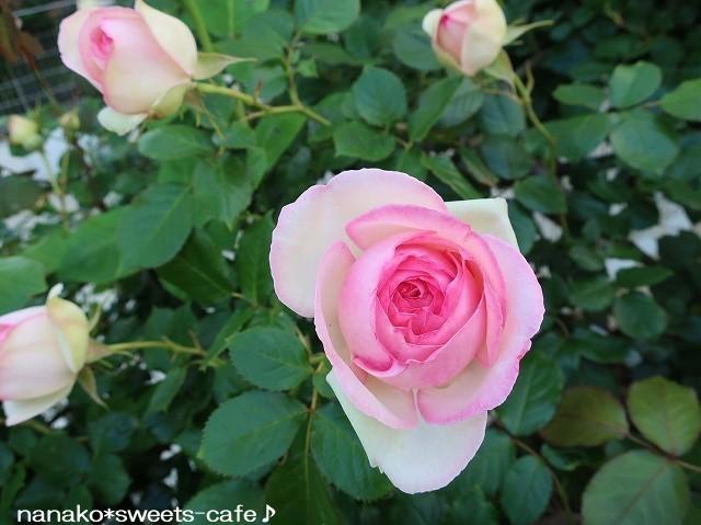 ピンクの薔薇_d0147030_20344058.jpg