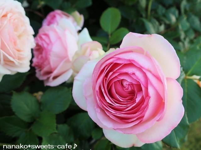 ピンクの薔薇_d0147030_20344507.jpg
