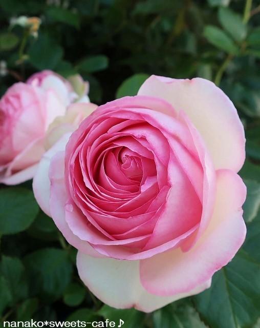 ピンクの薔薇_d0147030_20345017.jpg