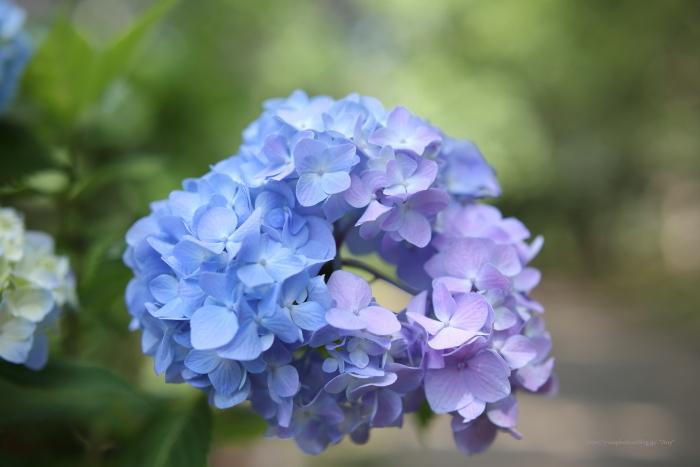 紫陽花の季節_e0347431_15031608.jpg