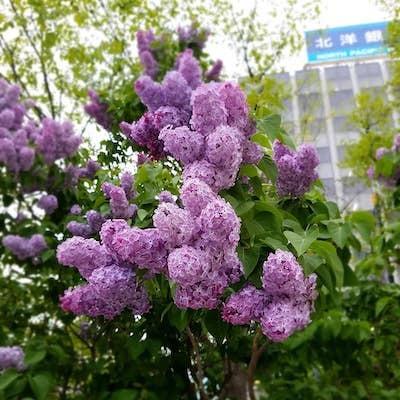 とてもキレイ!さっぽろ大通公園のライラックが盛りです<季節の花たち>_a0293265_18171522.jpg