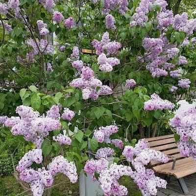 とてもキレイ!さっぽろ大通公園のライラックが盛りです<季節の花たち>_a0293265_18171582.jpg