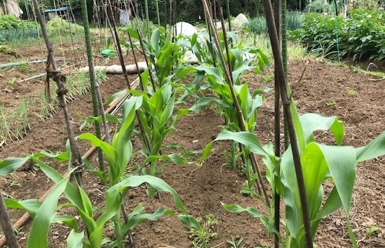 トウモロコシとニンジンの2回目の種蒔き5・26_c0014967_16412632.jpg