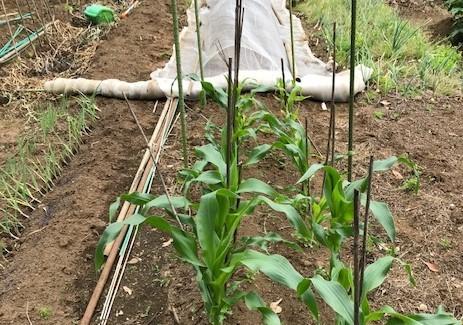 トウモロコシとニンジンの2回目の種蒔き5・26_c0014967_16413793.jpg