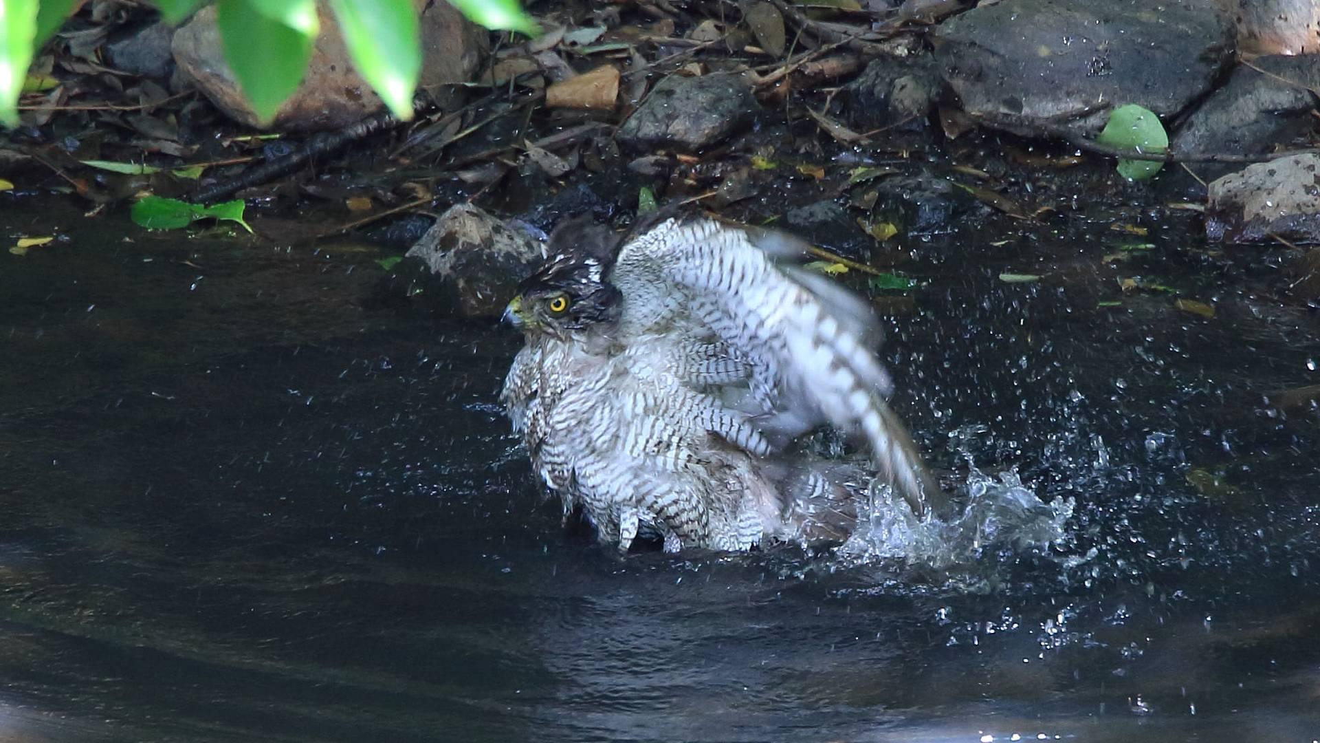 ちょうど3年前のオオタカお母さんの水浴び_f0105570_21020573.jpg