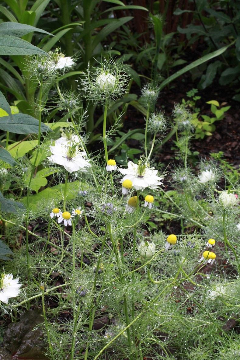 白花のニゲラ_a0107574_10444934.jpg