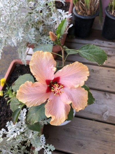 お店は11時から16時迄の時短営業しています。その日によりまして早めの閉店にもなりますのでご了承下さい。普通の生活が待ち遠しく、それまで気を抜かないよう頑張ります❣️お花は普通に咲いてくれています。_f0308082_09141373.jpeg