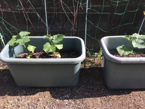 家庭菜園_a0135191_15313797.jpg