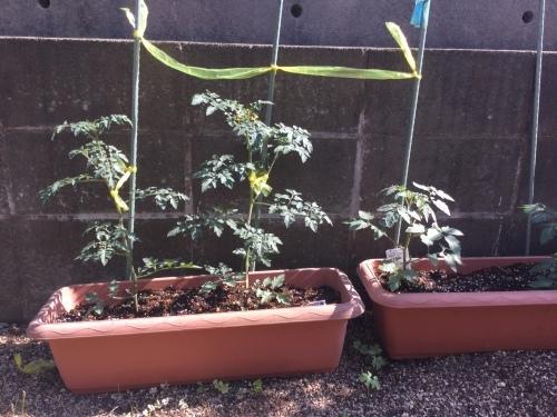 家庭菜園_a0135191_15314961.jpg