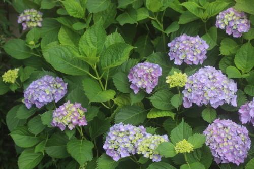 紫陽花の季節_e0094102_08262839.jpg