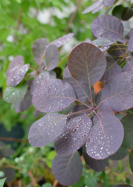雨粒とスモークツリー_b0183404_18481522.jpg