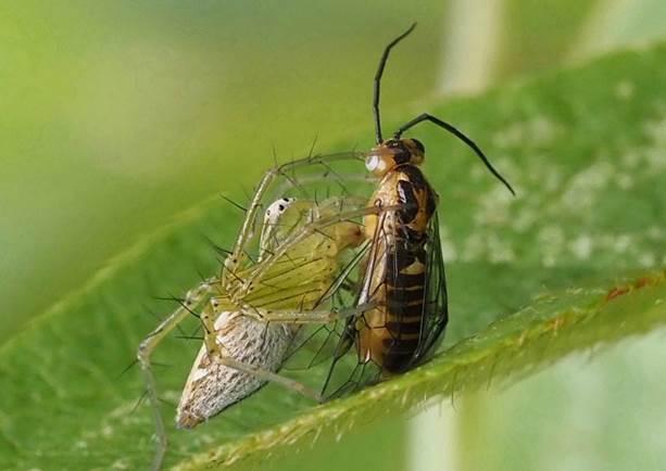 ササグモが捕食中のハチかアブの名前がどうしても分かりません_b0025008_22260420.jpg