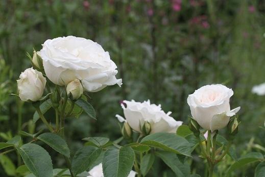 今日の庭  プリンセス・オブ・ウェールズ_e0206820_13010766.jpg