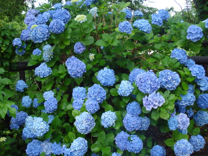 もうすぐ紫陽花の季節です!_d0149129_17350976.jpg