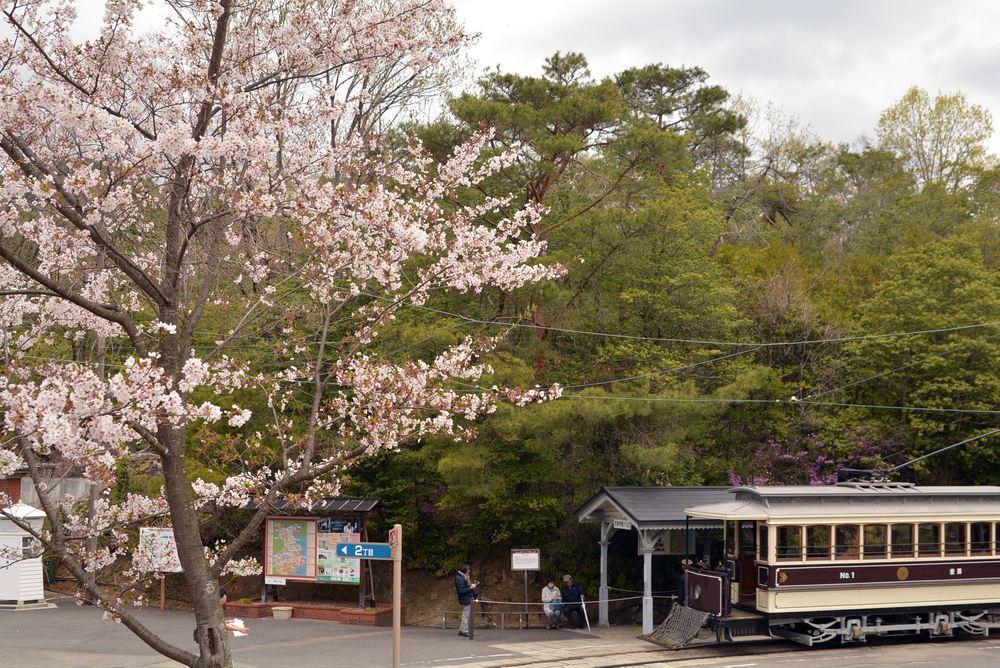 京都市電七条電停付近の桜1 ヤマザクラ_e0373930_19345559.jpg