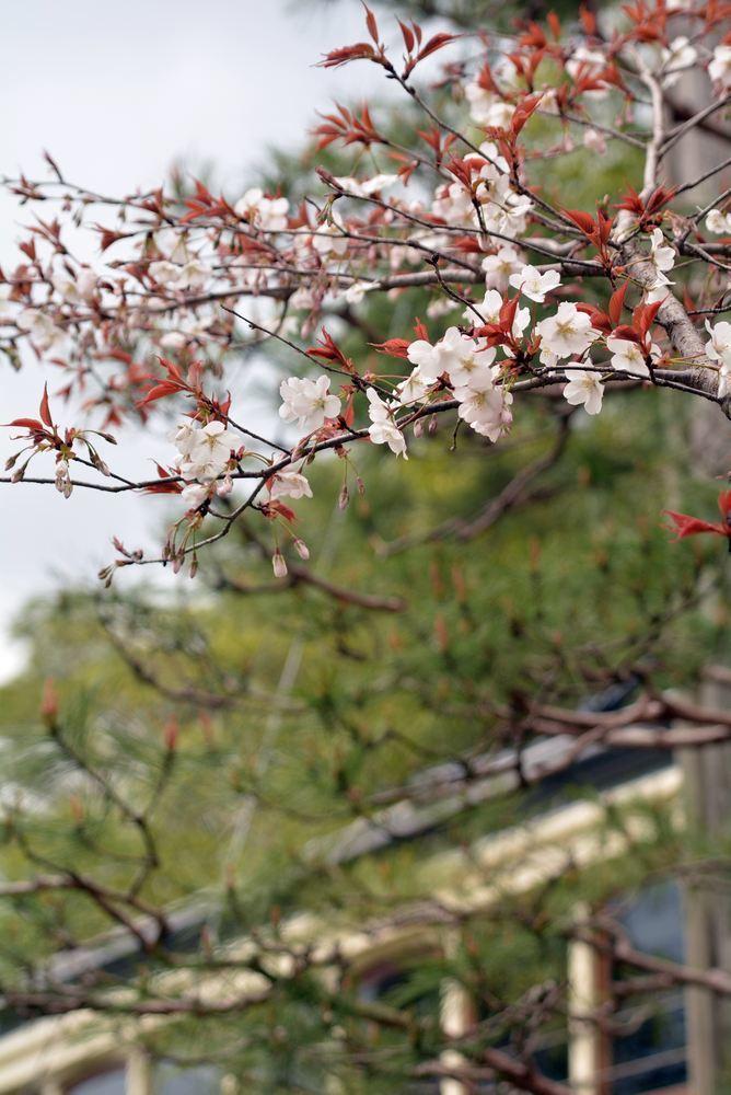 京都市電七条電停付近の桜1 ヤマザクラ_e0373930_19345596.jpg