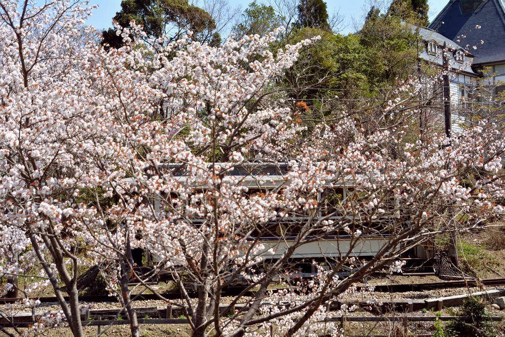 京都市電七条電停付近の桜 品川燈台寄り_e0373930_19351342.jpg