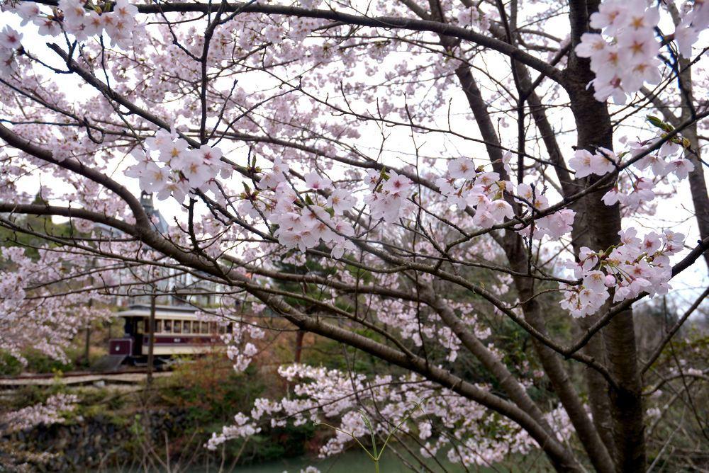 京都市電七条電停の桜 三重県庁舎寄り_e0373930_20033030.jpg