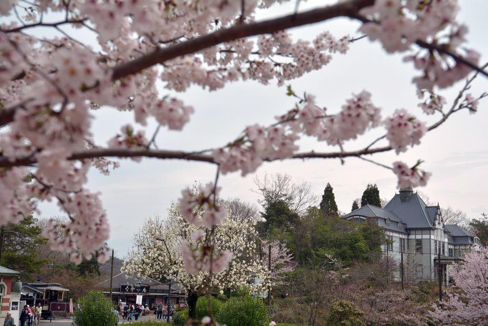 京都市電七条電停の桜 三重県庁舎寄り_e0373930_20033051.jpg