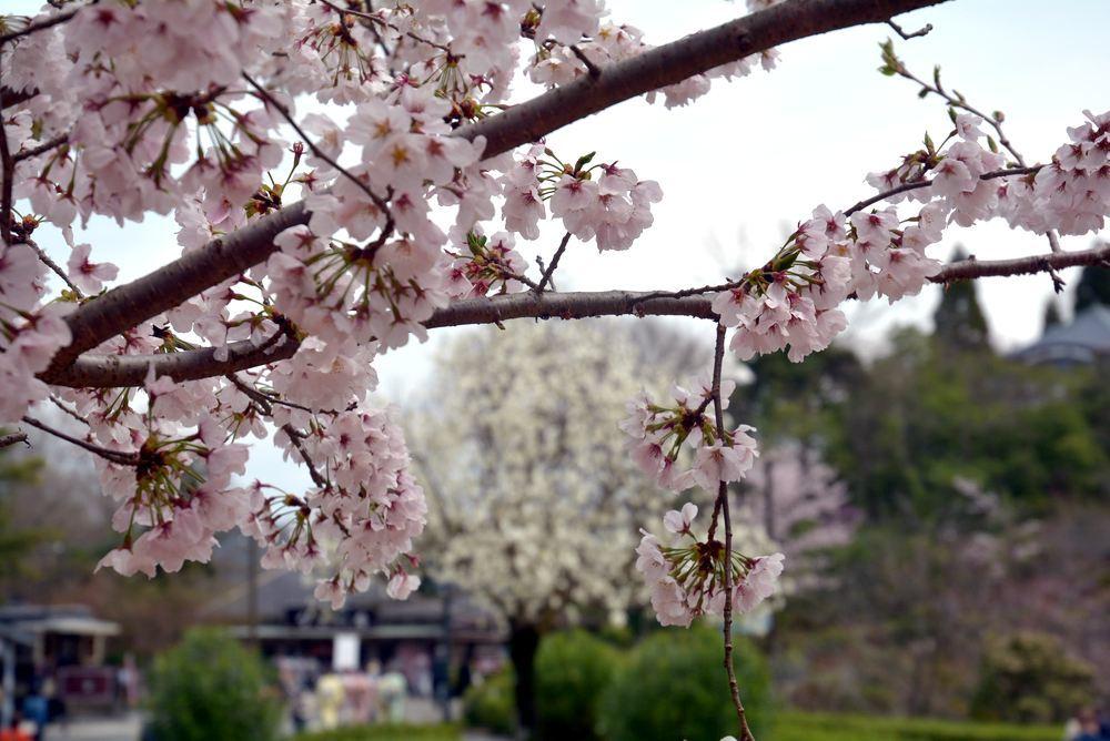 京都市電七条電停の桜 三重県庁舎寄り_e0373930_20033059.jpg