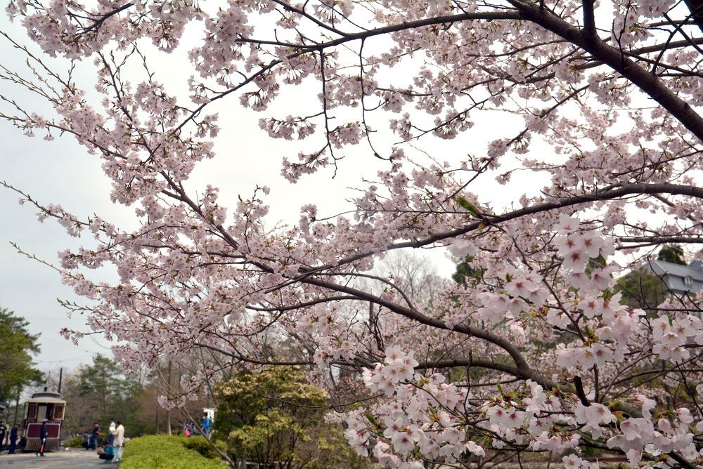 京都市電七条電停の桜 三重県庁舎寄り_e0373930_20033086.jpg