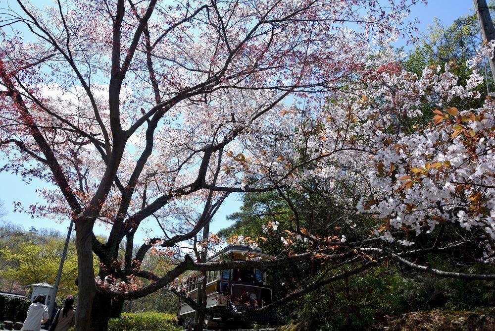 京都市電七条電停付近の桜1 ヤマザクラ_e0373930_20051806.jpg