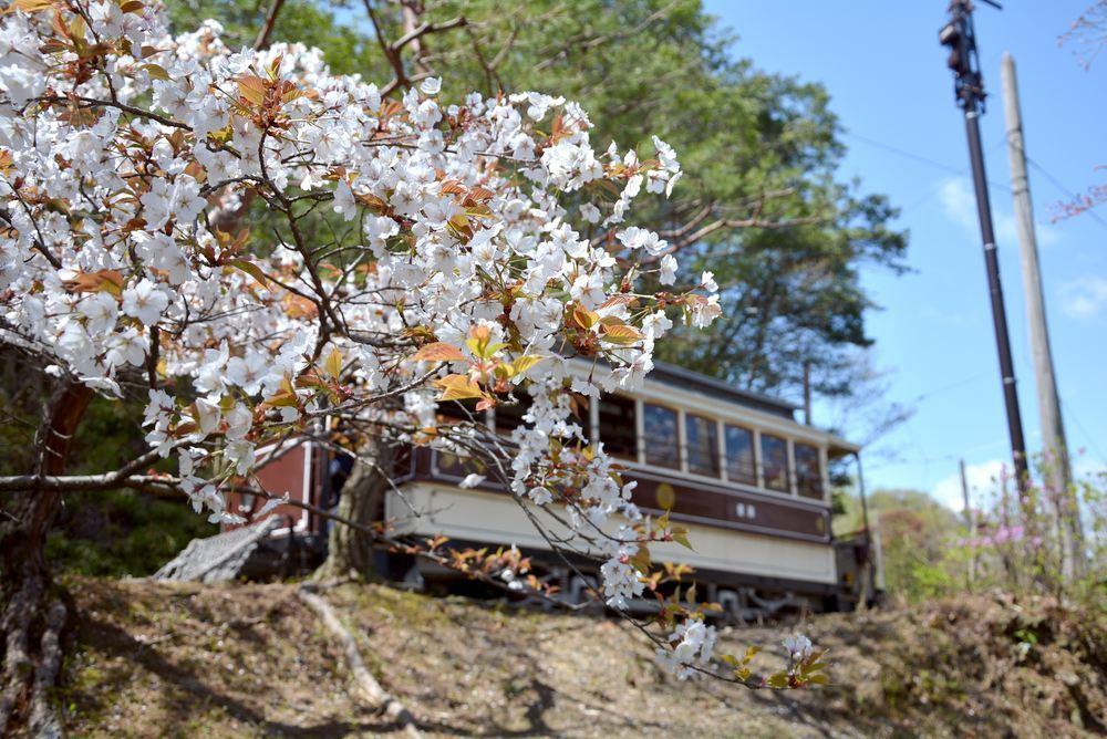 京都市電七条電停付近の桜1 ヤマザクラ_e0373930_20051840.jpg