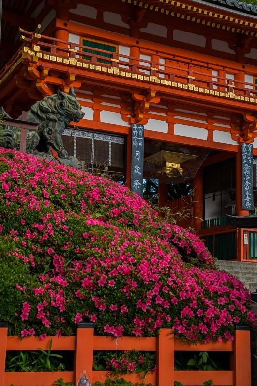 八坂神社のサツキ_e0363038_10514091.jpg