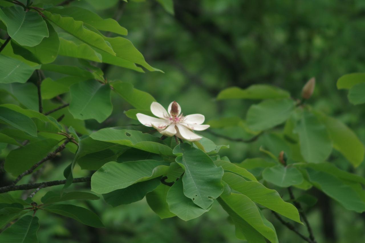 朴の花が咲いたよ!!_f0114346_08120747.jpg