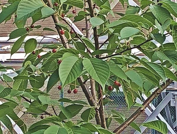 大島桜のサクランボ_c0019551_16244035.jpg