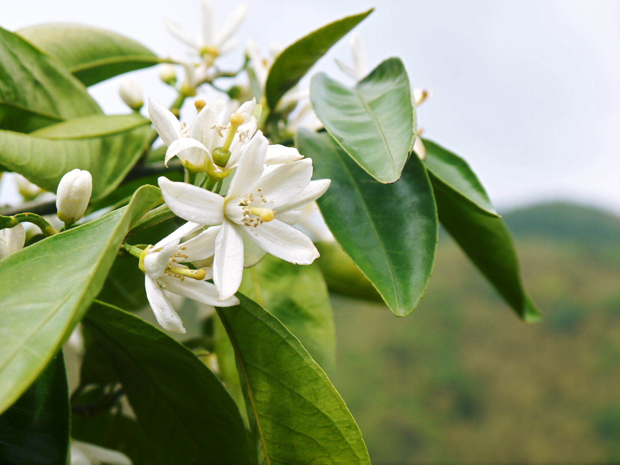 ザ・みかん みかんの花咲く様子(2020年)と春草を有機肥料に!!元気いっぱいの果樹で育てます!!_a0254656_14450369.jpg