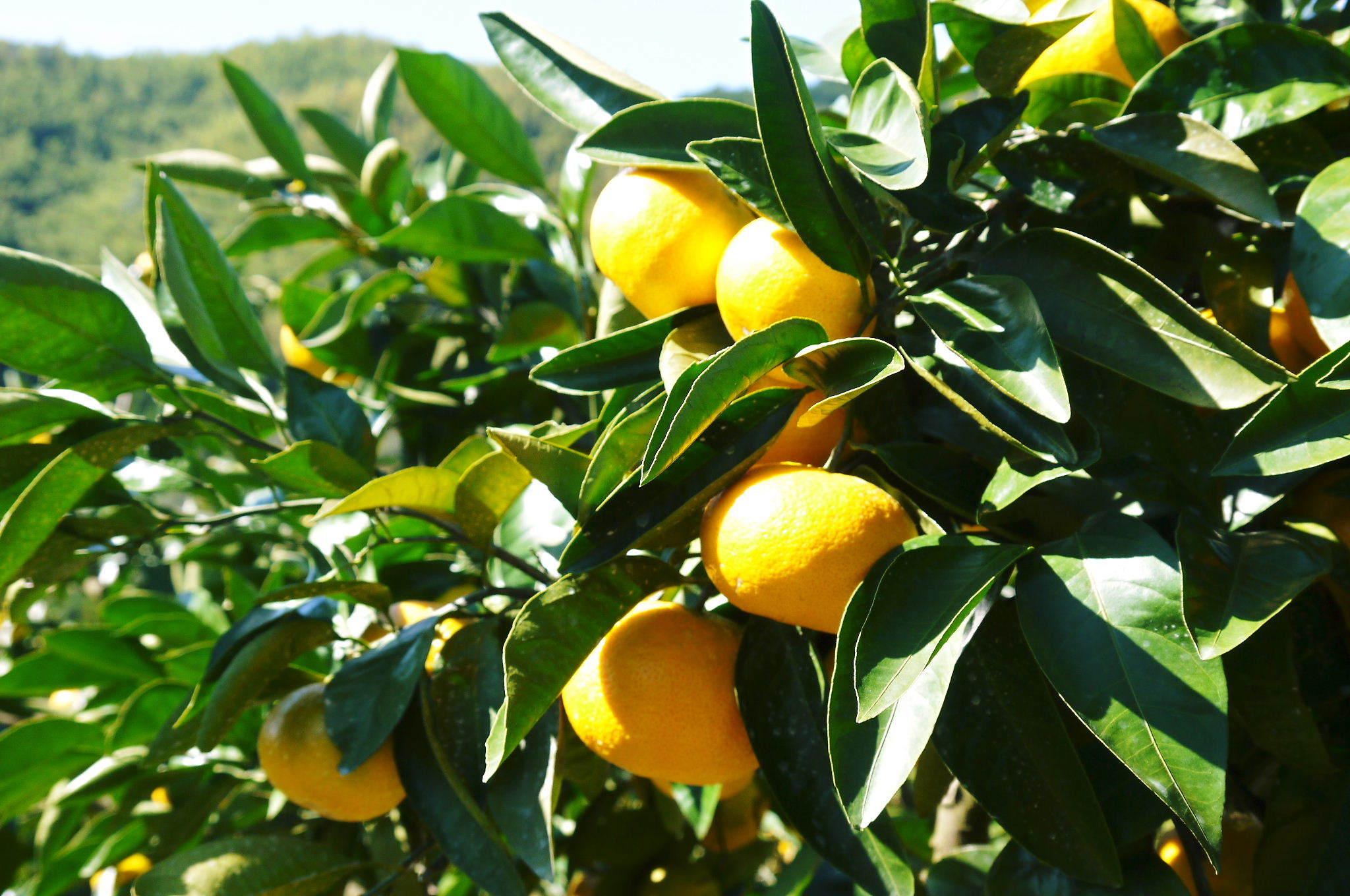 ザ・みかん みかんの花咲く様子(2020年)と春草を有機肥料に!!元気いっぱいの果樹で育てます!!_a0254656_14473940.jpg