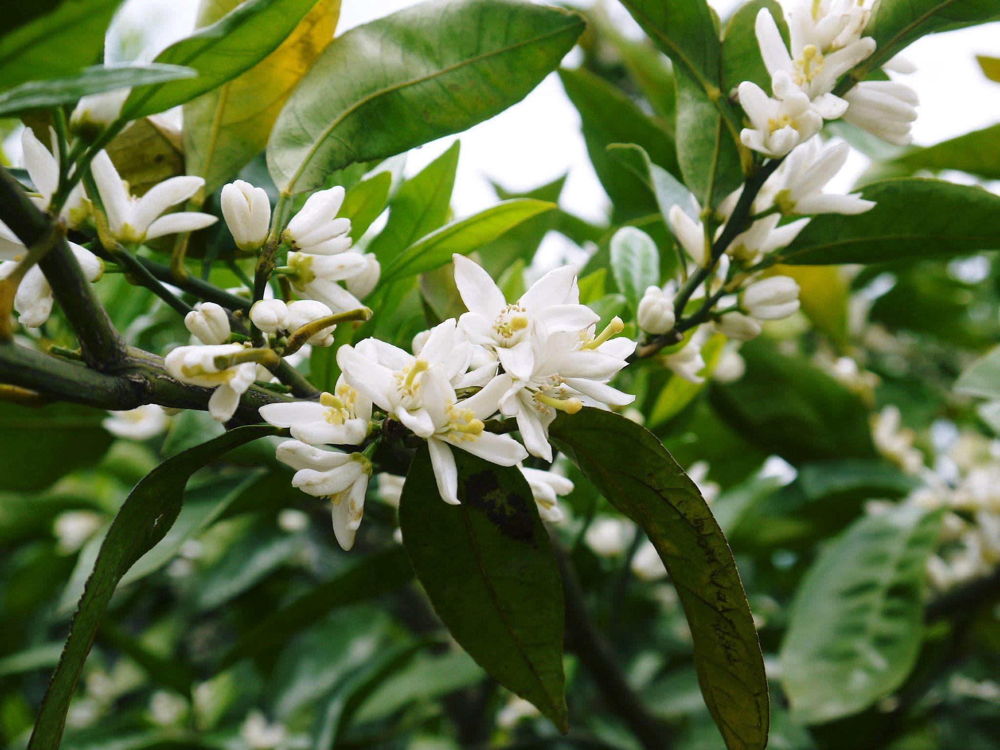 ザ・みかん みかんの花咲く様子(2020年)と春草を有機肥料に!!元気いっぱいの果樹で育てます!!_a0254656_14485475.jpg
