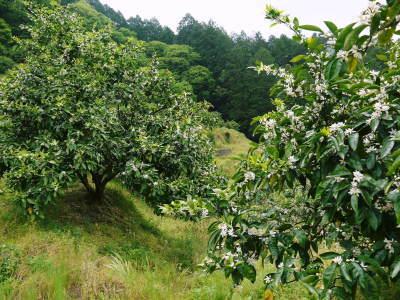 ザ・みかん みかんの花咲く様子(2020年)と春草を有機肥料に!!元気いっぱいの果樹で育てます!!_a0254656_14502779.jpg
