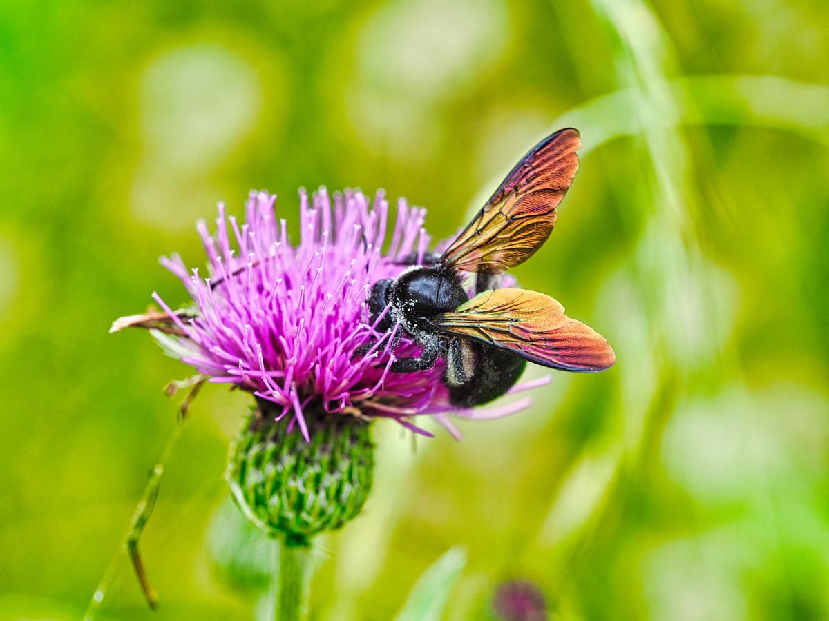 アザミの花に集う昆虫_d0283373_14033638.jpg