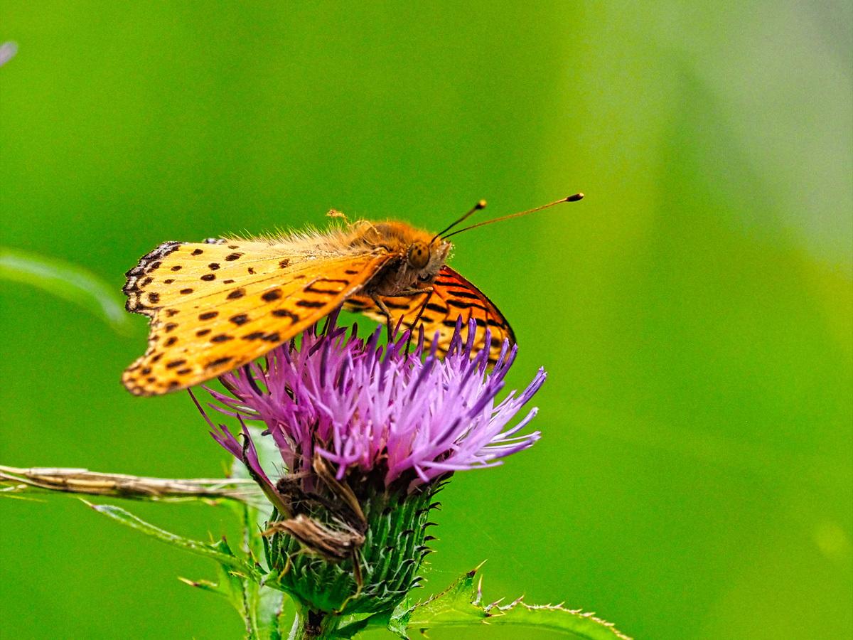 アザミの花に集う昆虫_d0283373_14034934.jpg